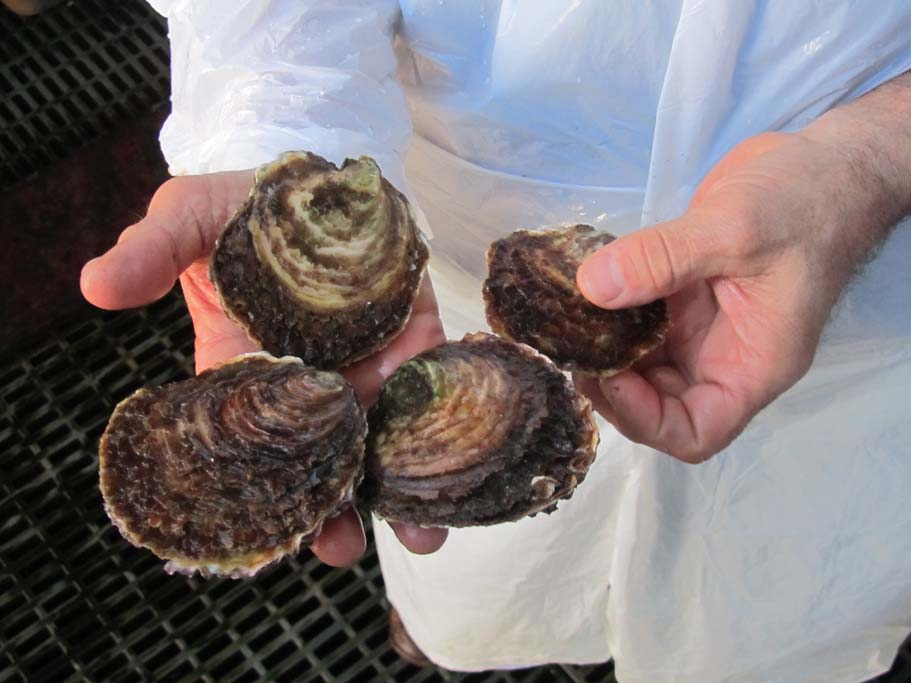 bolsmosselhandel-oesters