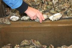 bolsmosselhandel-oesters opensteken