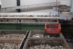 bolsmosselhandel-oesters sortering